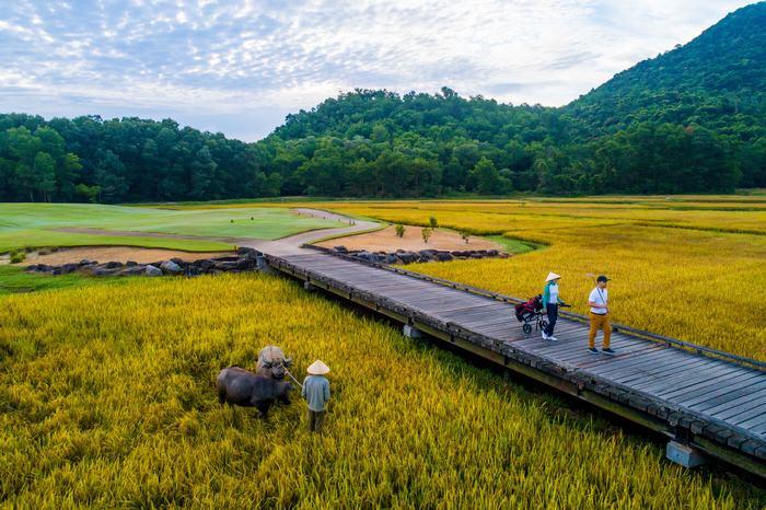 Hố số 4 với phong cảnh ruộng lúa và trâu nước Việt Nam