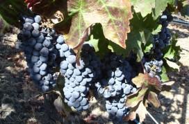 Cabernet_grapes_at_Opus_One,_Napa_Valley,_California,_USA